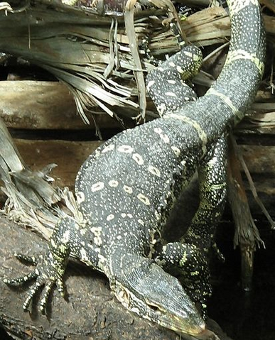 File:Nile Monitor.png