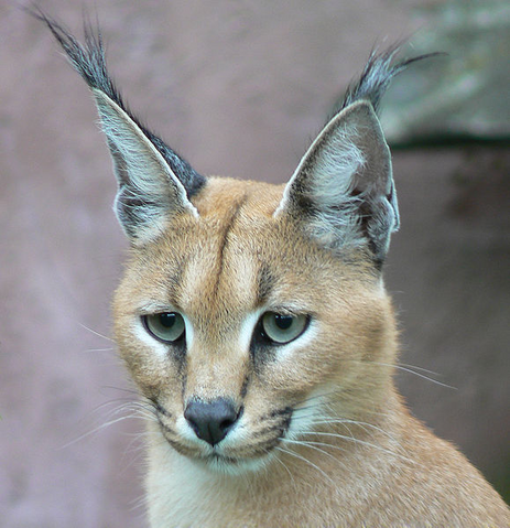 File:Caracal.png