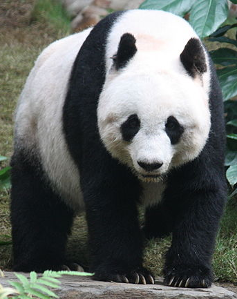 File:Giant Panda.png