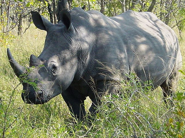 File:White Rhinoceros.png
