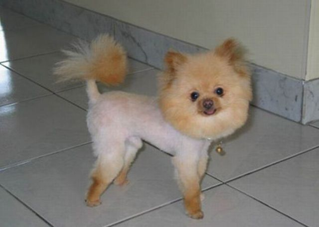 File:Hilarious dog haircuts 640 16.jpg