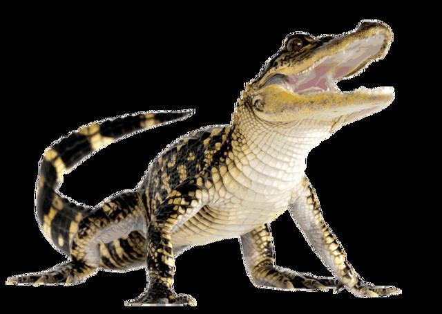 File:Alligator.png