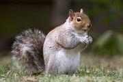 Oranges squirrel
