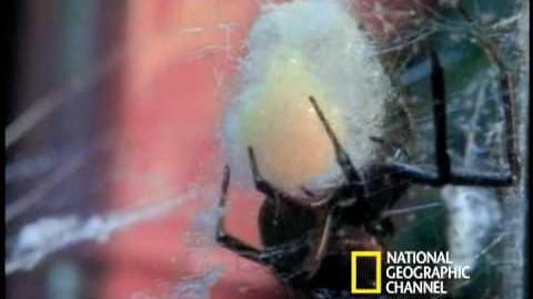 Deadly Mates Black Widow Spider