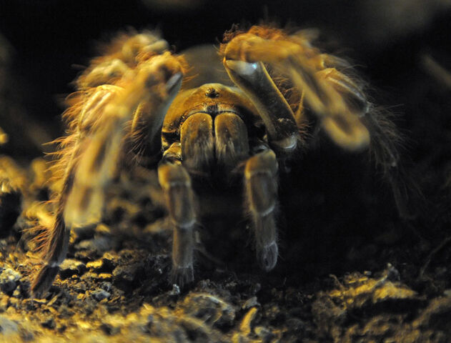 File:Goliath-birdeater.jpg