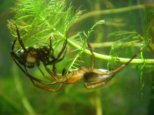 File:Argyroneta aquatica paar.jpg