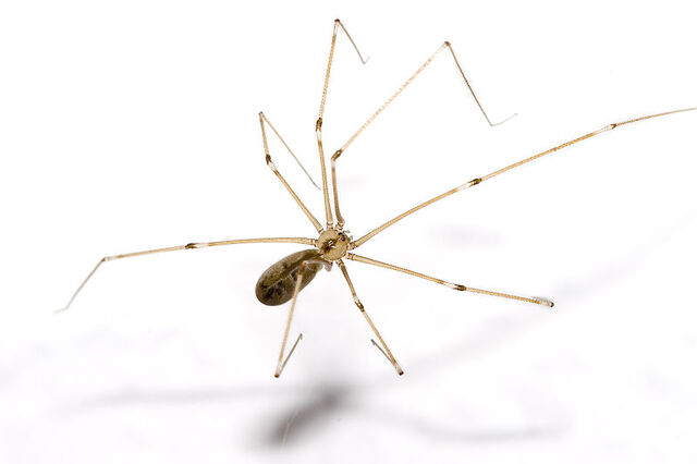 File:800px-Pholcus.phalangioides.6905.jpg