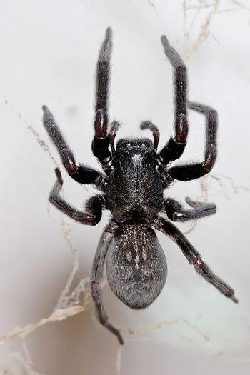 400px-Black house spider03