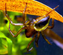 Diving bell spider (Argyroneta aquatica)
