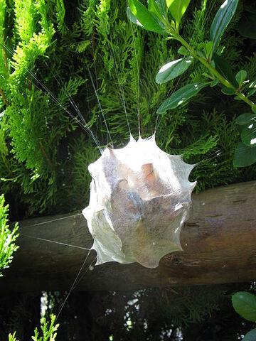File:450px-Palystes castaneus (Sparassidae egg purse IMG 2662.jpg