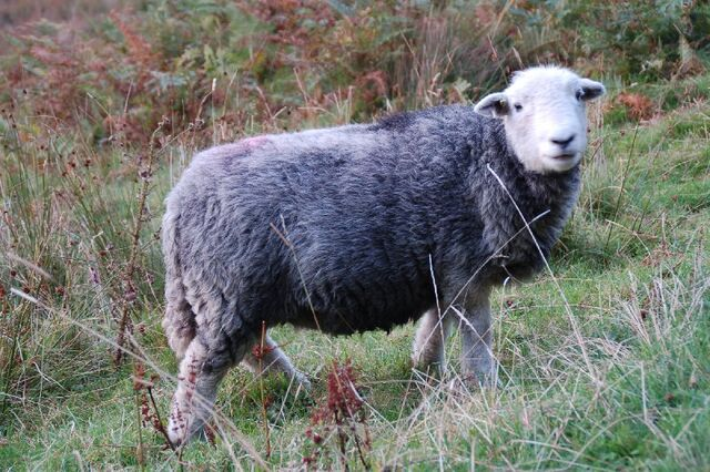File:Herdwick sheep.jpg