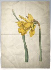 ACS DB Daffodil
