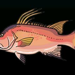 Hogfish - 稀有度:稀有,尺寸:大