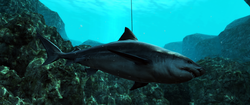 AC4 Bull Shark