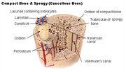 Bone illus