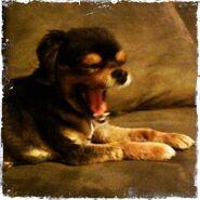 Yawning Pixie