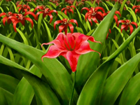 Fire lily