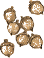 Acorn item artwork BG2.png
