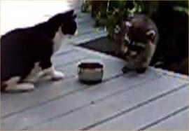 File:Cat VS racoon.jpg