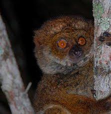Betsileo Woolly lemur