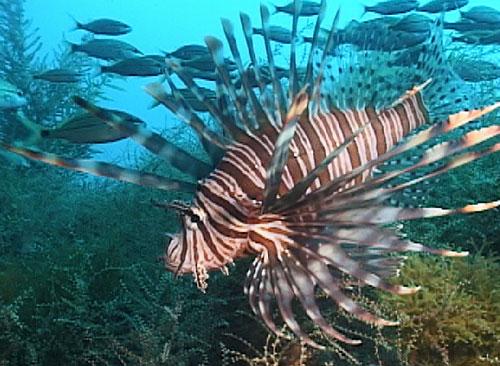 File:Lionfish.jpg
