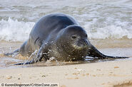 Hawaiian-monk-seal-KDMA060709-012