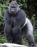 Gorillareal