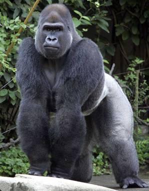 File:Gorillareal.jpg