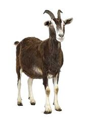 Goat 127118636 250