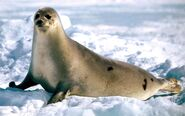 Seal-Animal