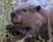 Beaver3 (1)