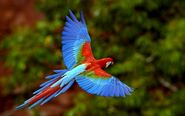 10047-red-macaw