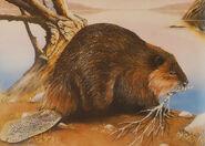 Beaver-pond