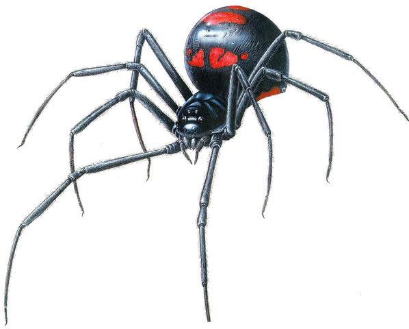 File:Black Widow Spider.jpg