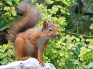 Red Squirrel 6ed