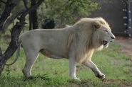 White lion01