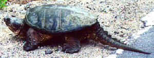 File:Snappingturtle2.jpg