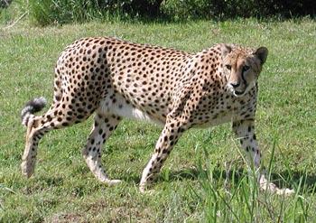 File:Cheetah (2).jpg
