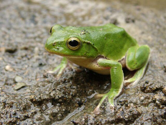 File:Green-frog.jpg