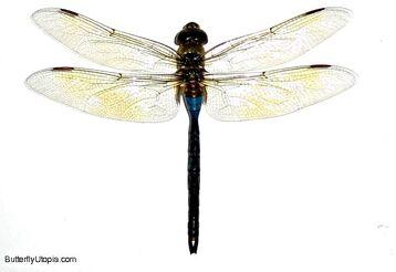 036 dragonfly
