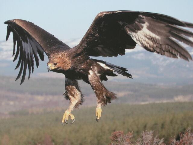 File:Golden Eagle Scottish Highlands Wallpaper wuuuf.jpg