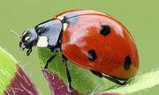 Ladybird-4
