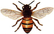 Honey Bee4