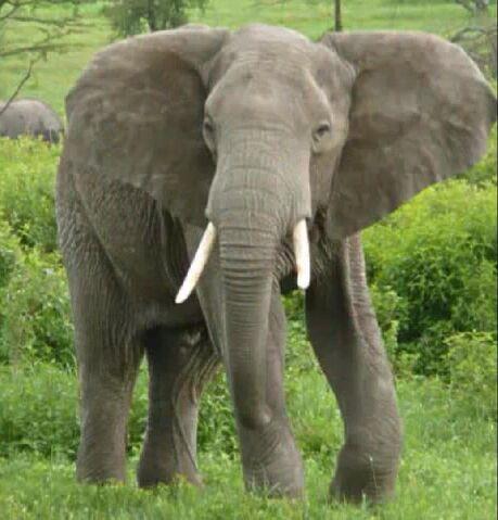 File:AfricanElephant.JPG