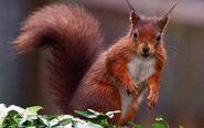 Red-squirrel 1387990c