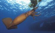 Humboldt-Squid-001