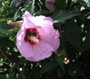 Flower:Clover