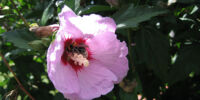 Flower:Rose of Sharon