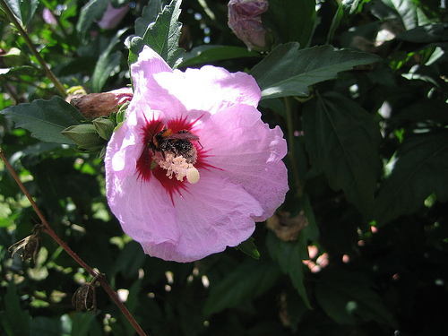 File:Hibiscus Syriacus.jpg