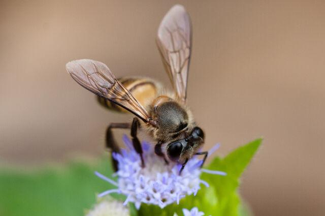 File:Apis cerana, Asiatic honey bee - Khao Yai National Park.jpg